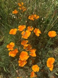 California poppies 30 pct